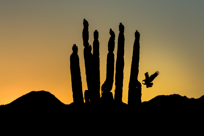 Turkey vultures silhouette