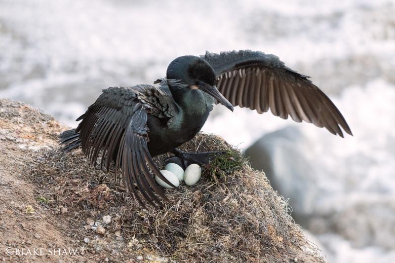 Brandt's cormorant eggs