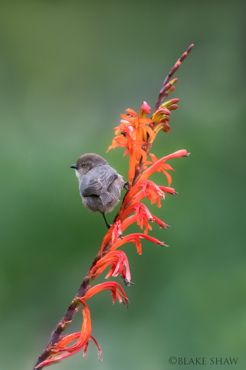 Bushtit south coast