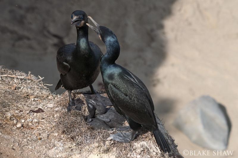 Brandt's cormorants 2