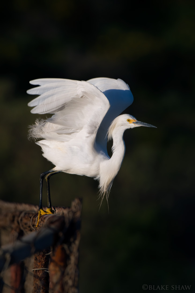 Snowy egret bolsa chica