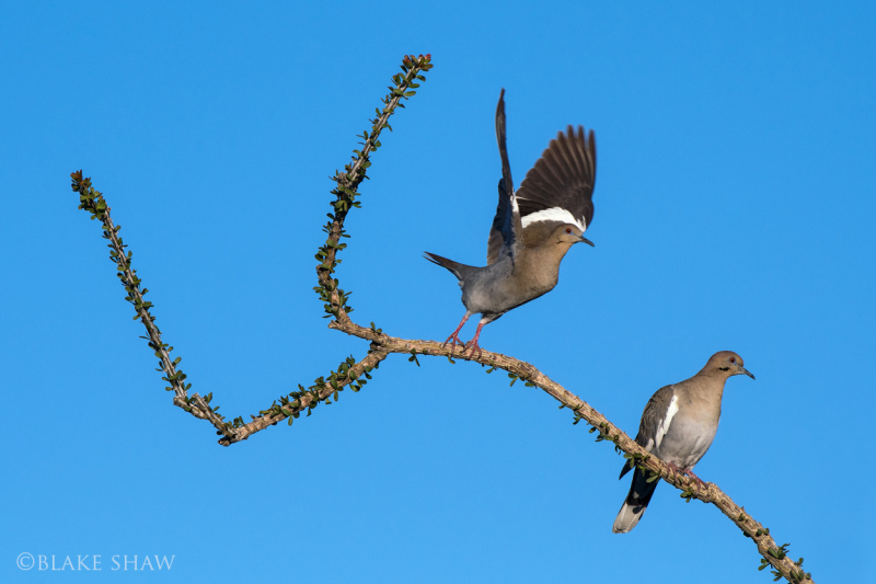 White-winged doves borrego