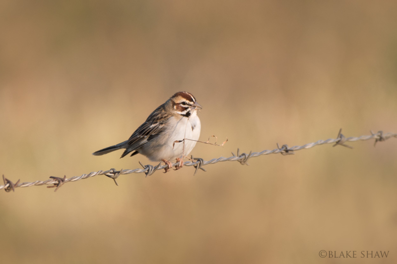 Lark sparrow guzman