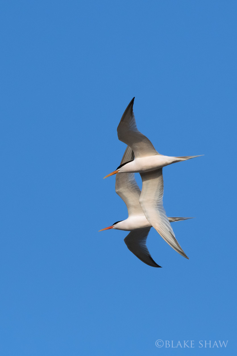 Elegant terns in flight
