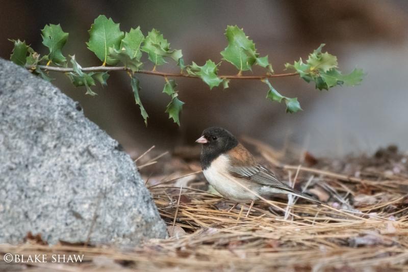 Dark-eyed junco idyllwild
