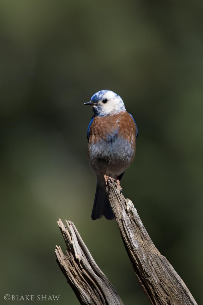 Western bluebird leucistic