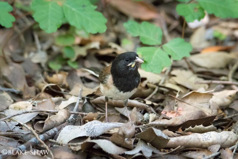 Dark eyed junco poison oak