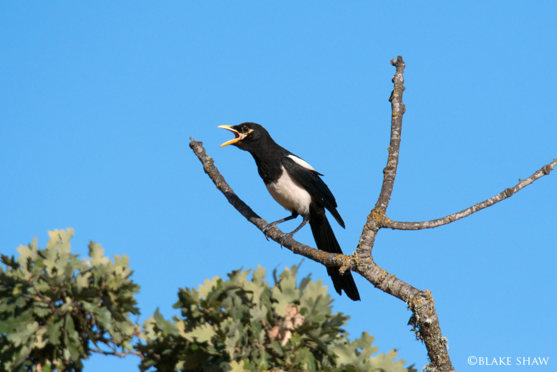 Yellow-billed magpie 2