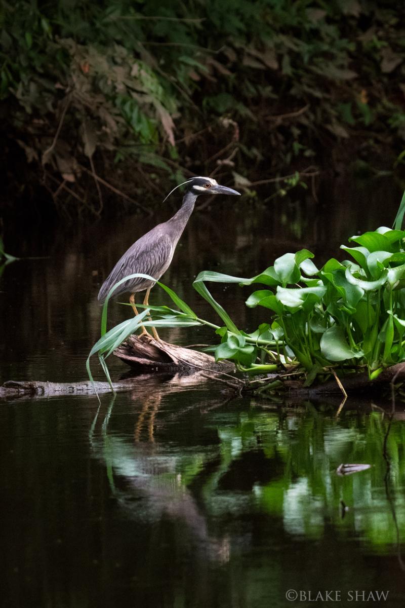 Yellow-crowned night-heron la antigua
