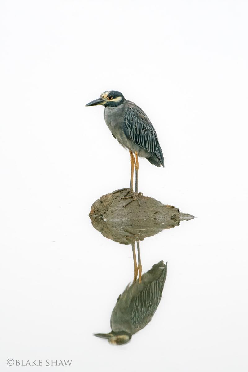 Yellow-crowned night-heron estero beach