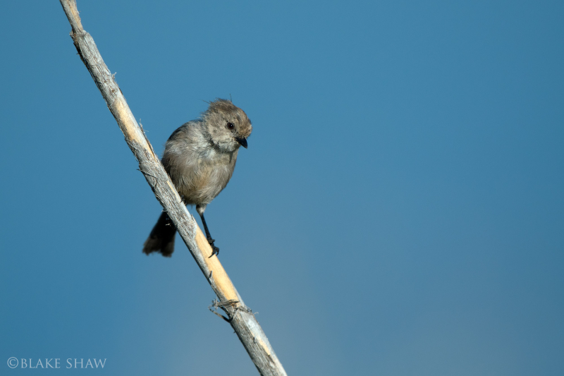 Bushtit lake hodges