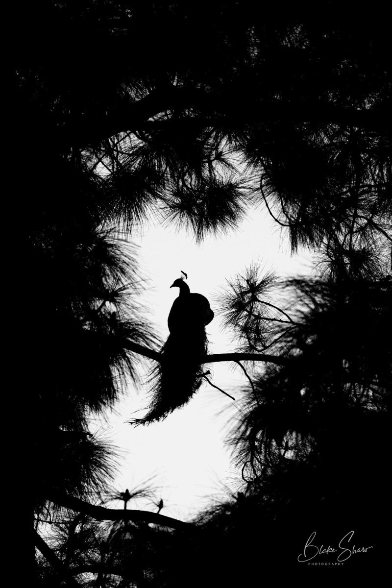 Peacock silhouette la arboretum copy