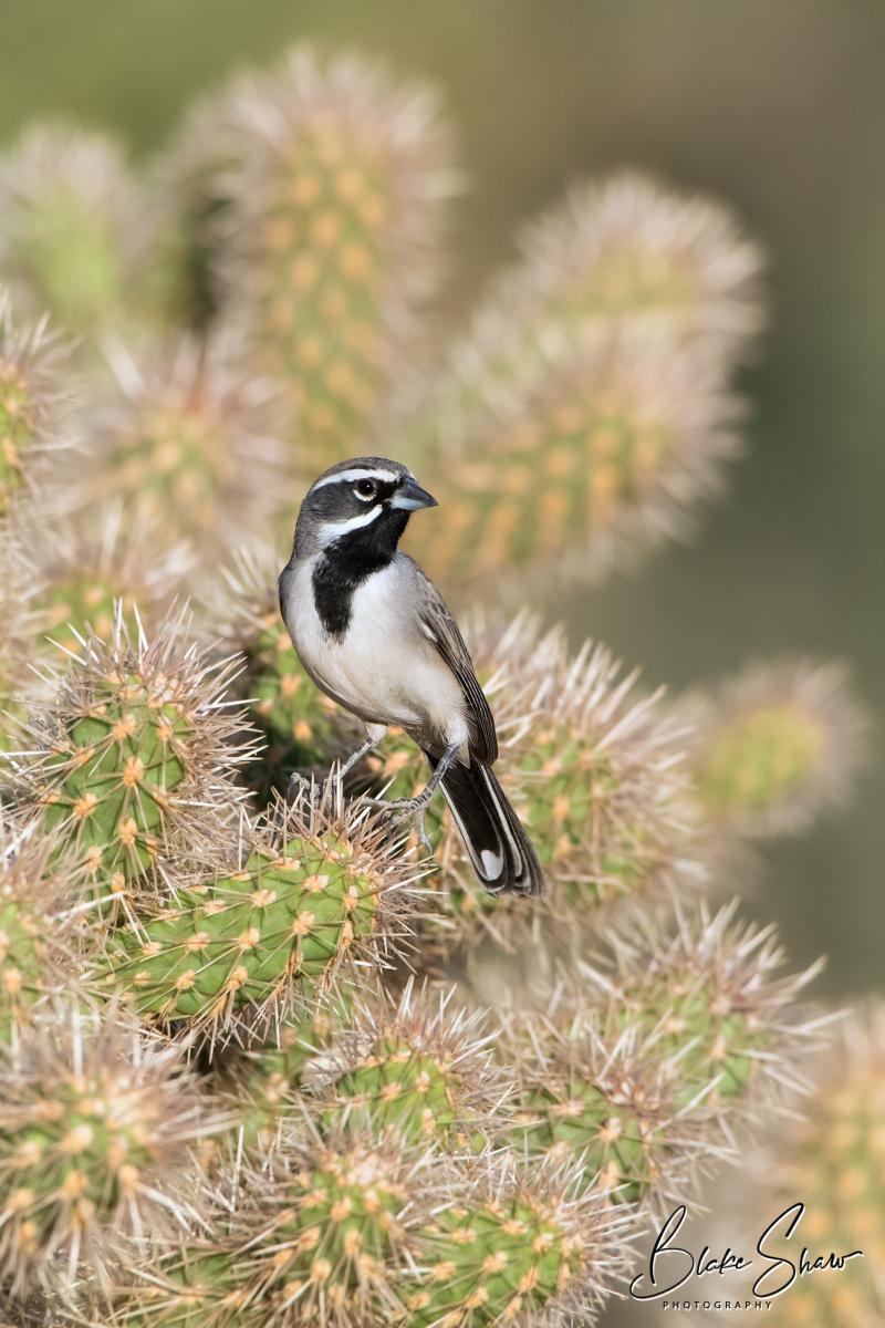 Black-throated sparrow borrego2 copy