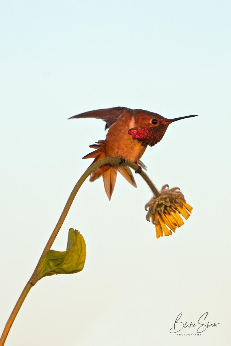 Allen's hummingbird bolsa chica copy