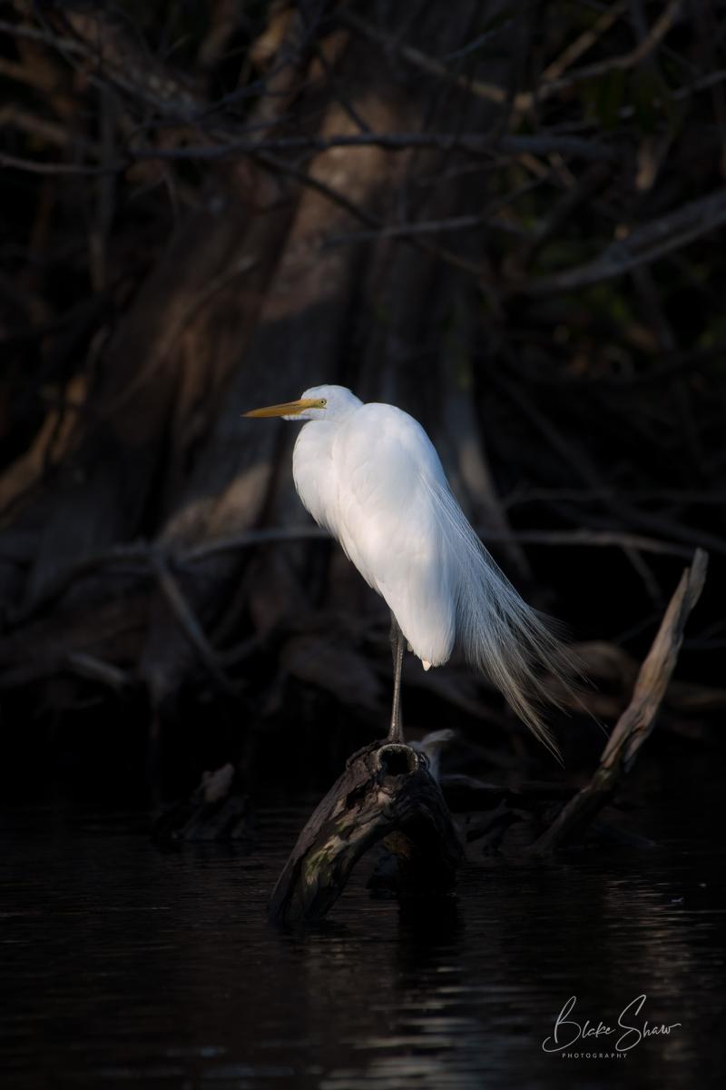 Great egret san blas