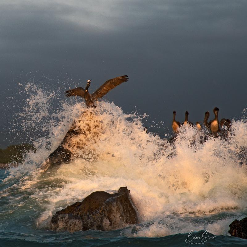 Piedra blanca pelicans