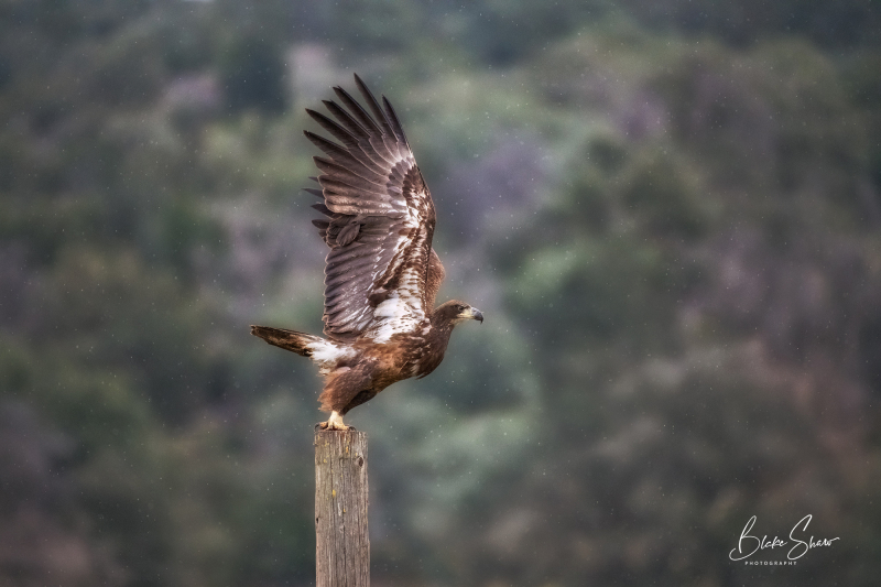Bald eagle immature copy