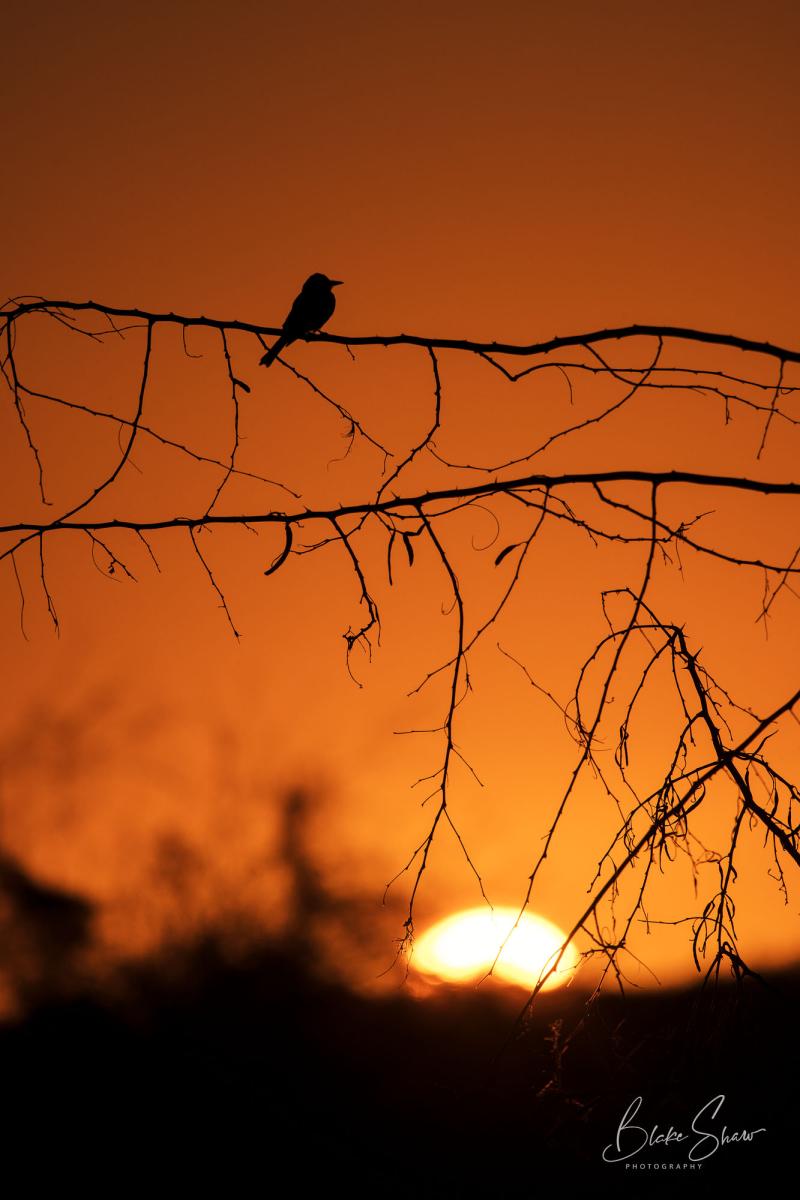 Tropical kingbird silhouette san blas