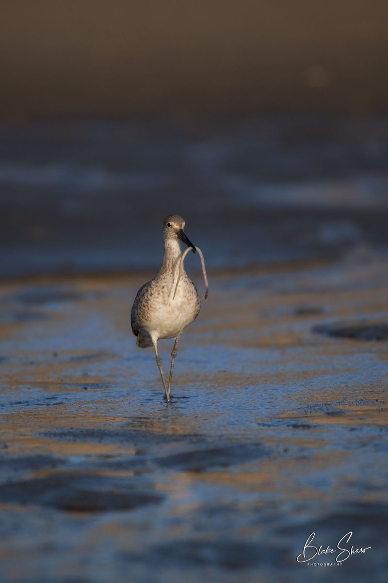 Willet and lugworm
