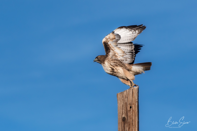 Red-tailed hawk salton sea