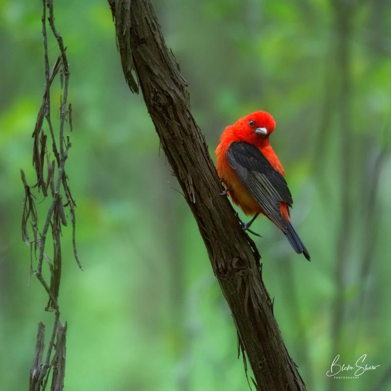 Scarlet tanager pt pelee
