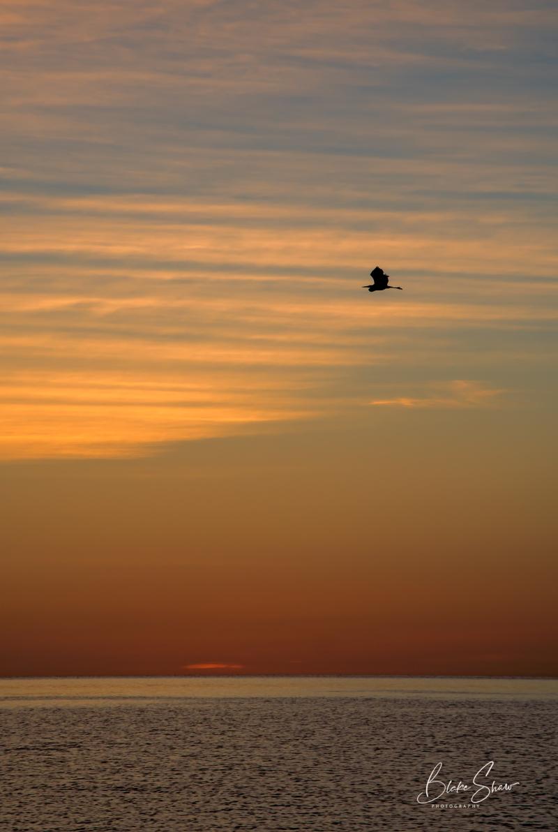 Great blue heron san felipe sunrise