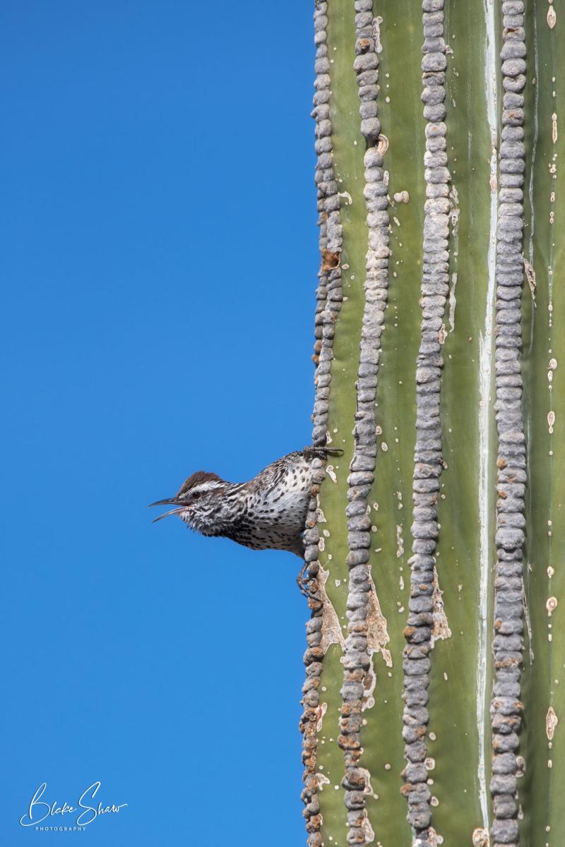 Cactus wren san felipe