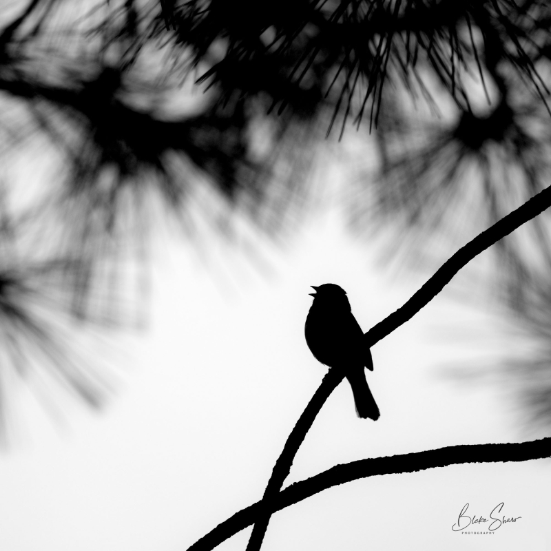 Dark-eyed junco silhouette