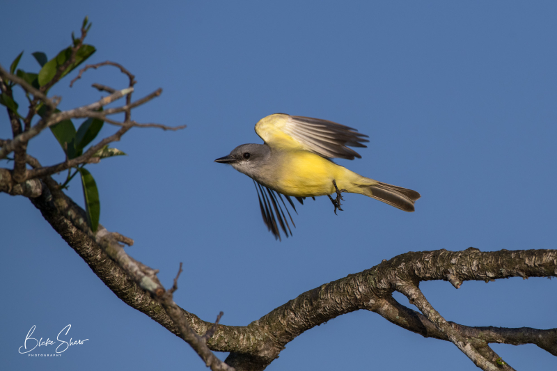 Tropical kingbird san blas 3