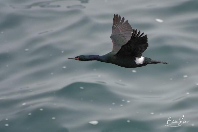 Pelagic cormorant la jolla copy