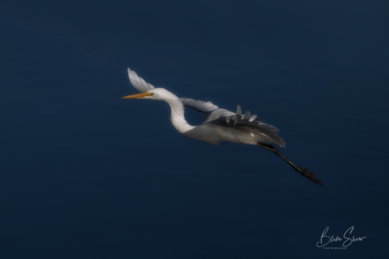 Great egret santee lakes
