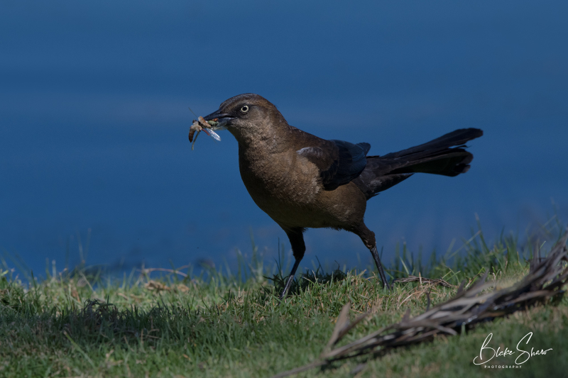 Great-tailed grackle and food