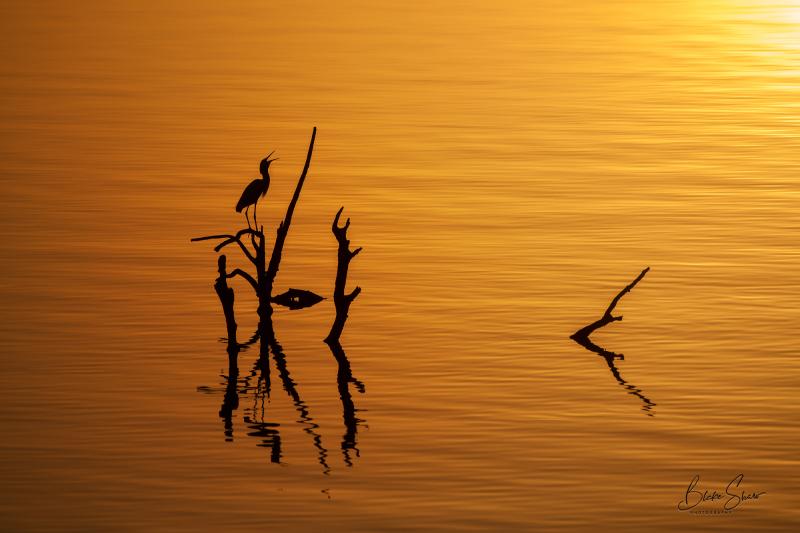 Great egret salton sea sunset
