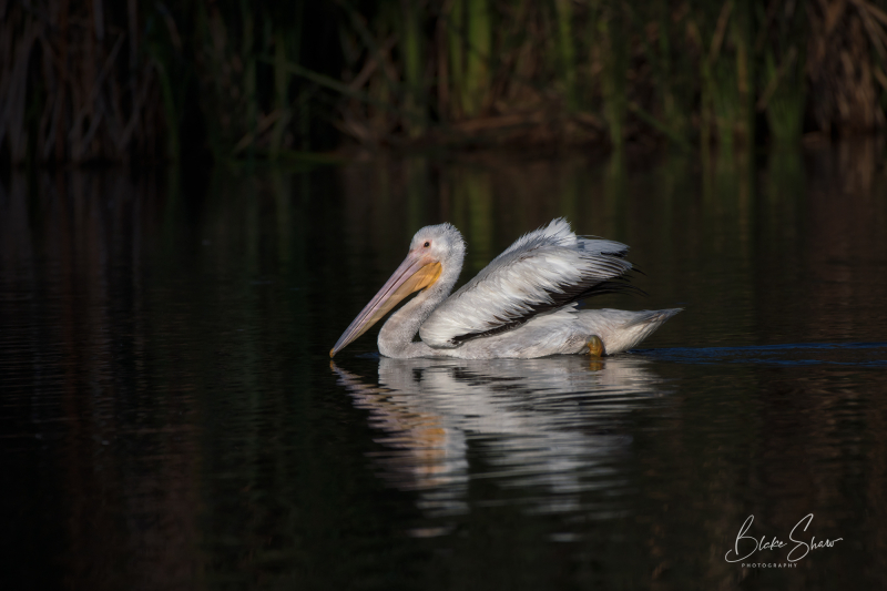 White pelican santee lakes