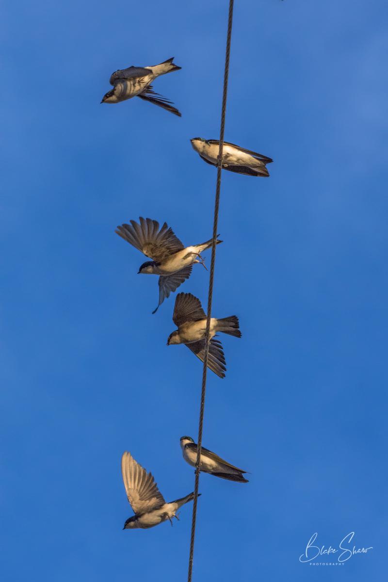 Tree swallows salton sea