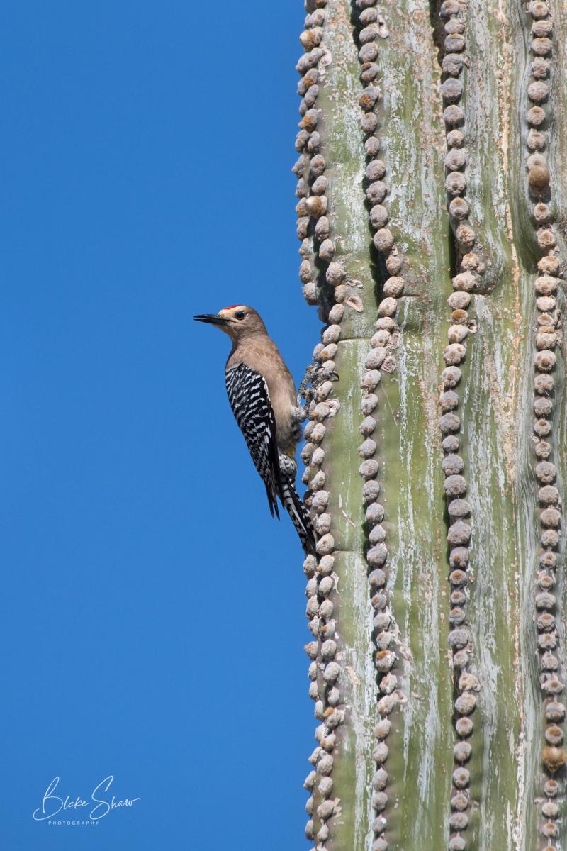 Gila woodpecker san felipe