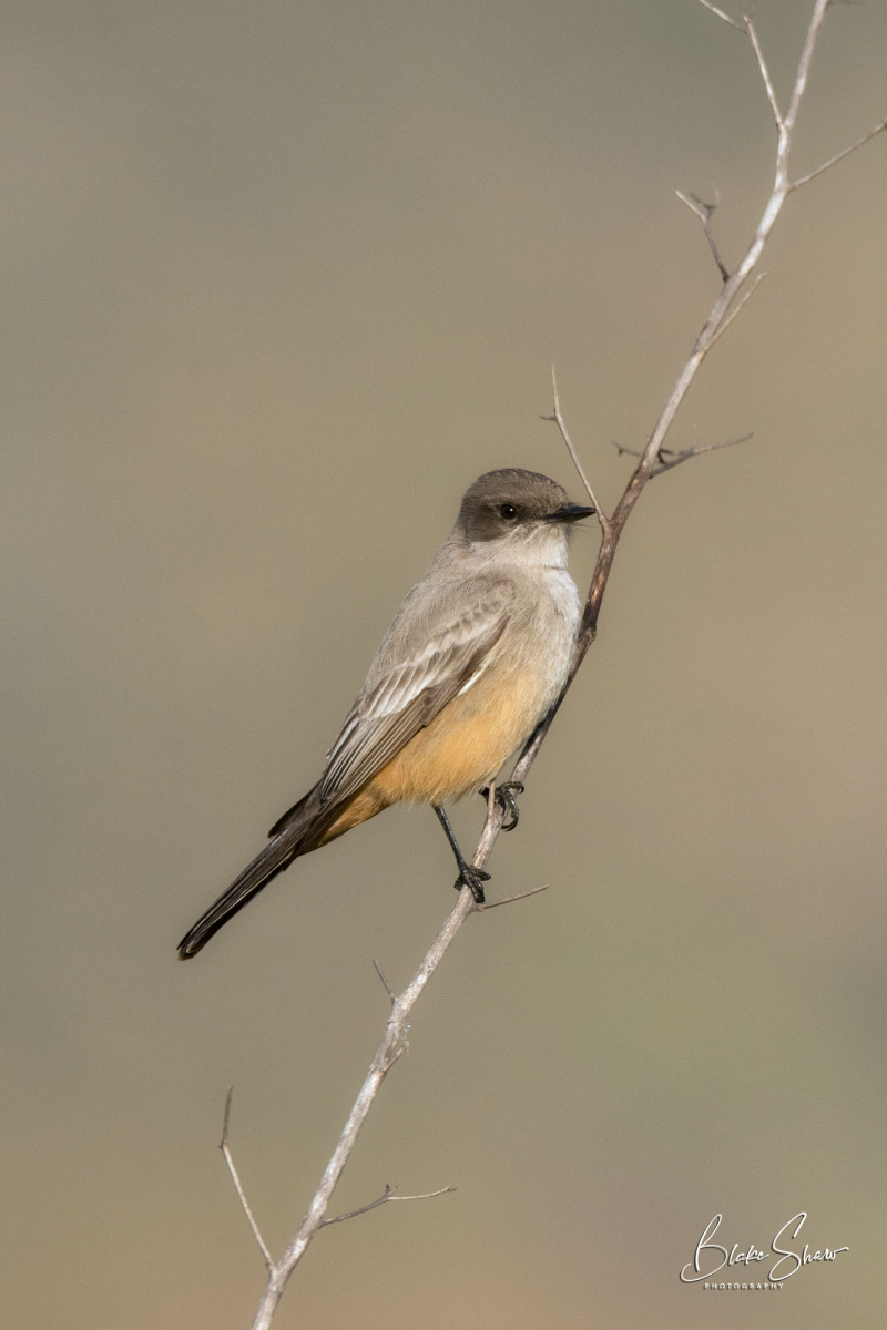 Say's phoebe lake hodges