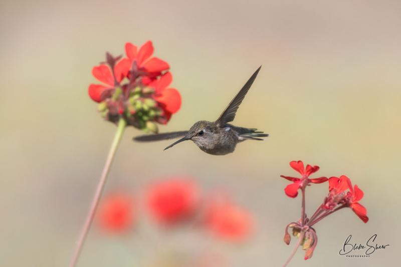 Anna's hummingbird san quintin