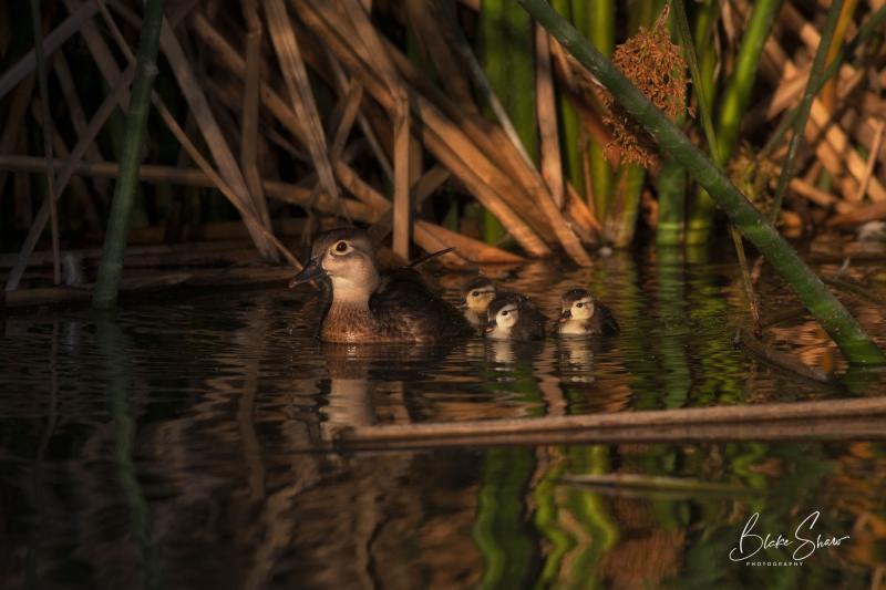 Wood duck and chicks lindo lake