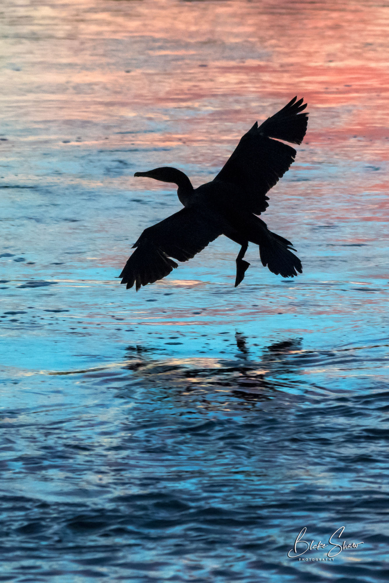 Double-crested cormorant bolsa chica