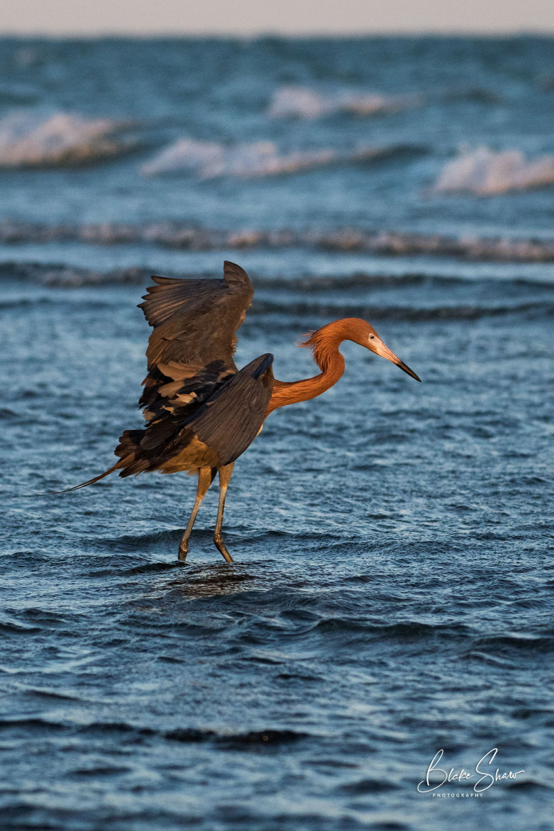 Reddish egret dance laguna san ignacio