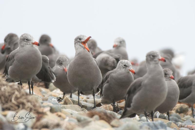 Heermann's gulls juvenile