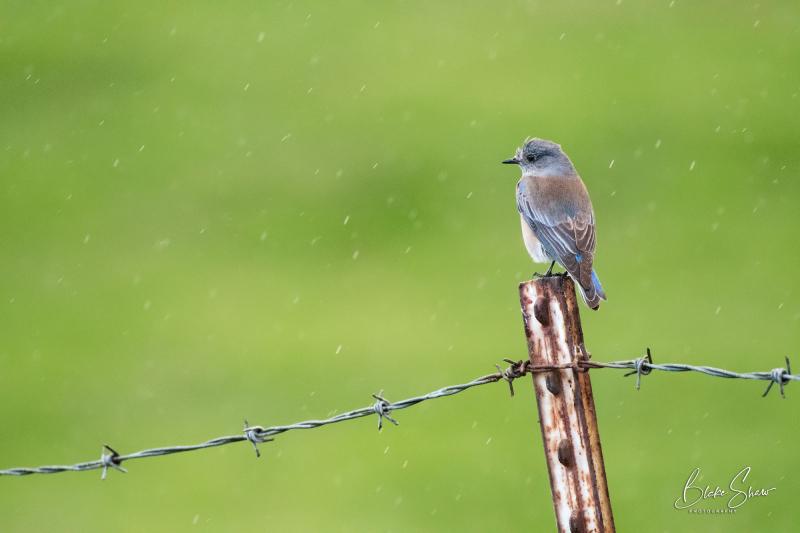 Bluebird in rain