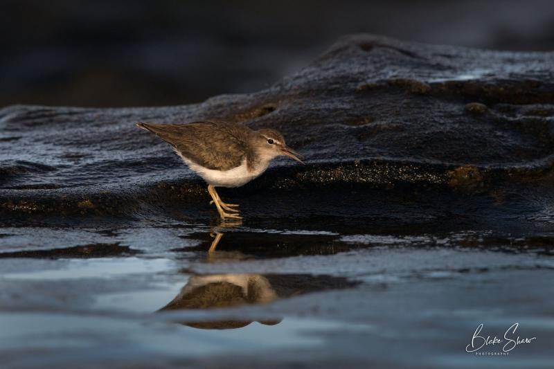 Spotted sandpiper la jolla
