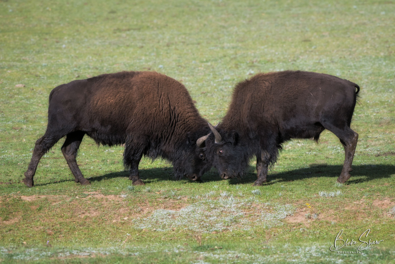 Buffalo butting heads