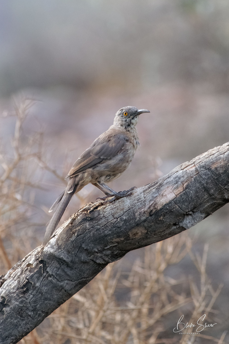 Curve-billed thrasher lost dutchman