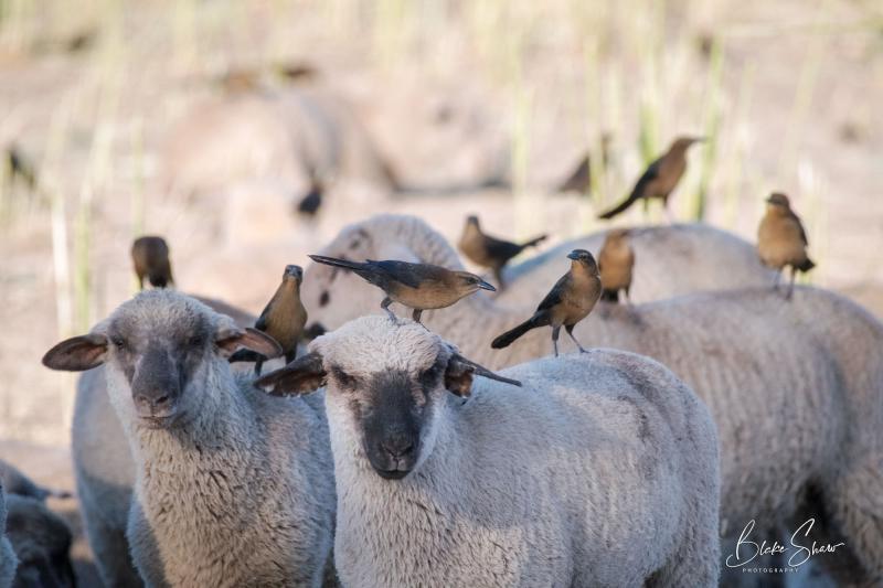 Grackles lambs