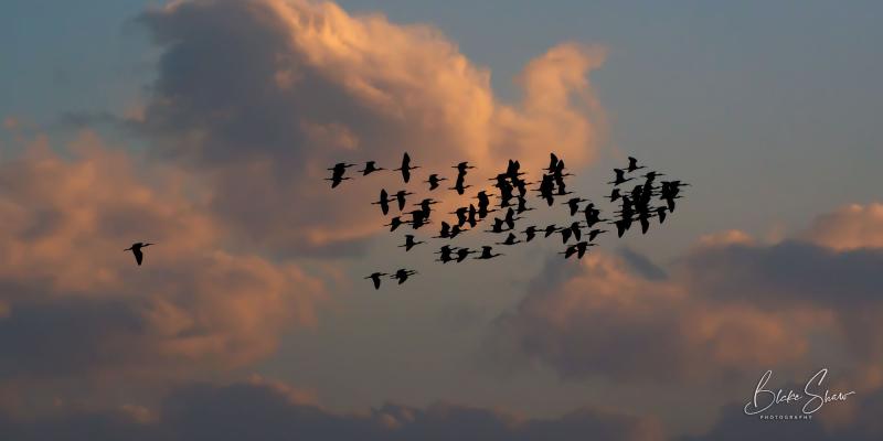 White-faced ibises