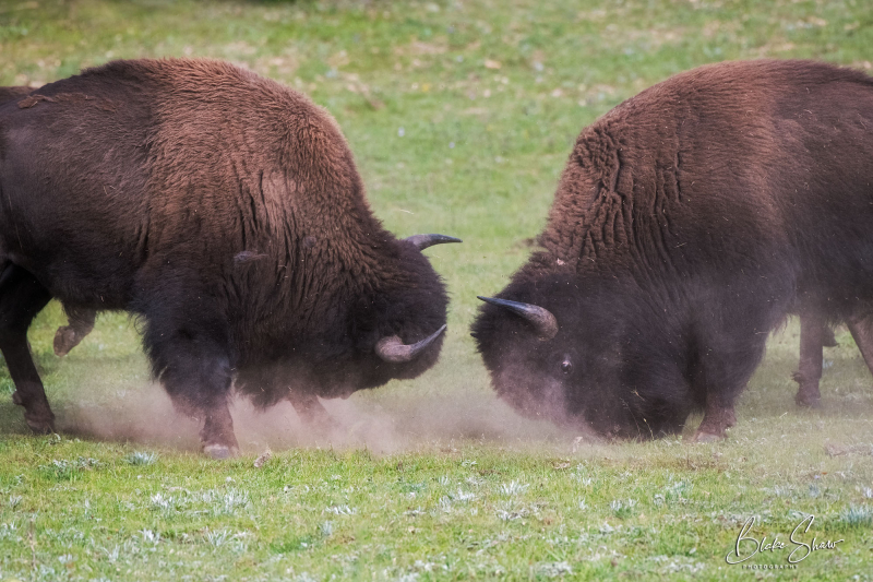 Buffalo quarrel