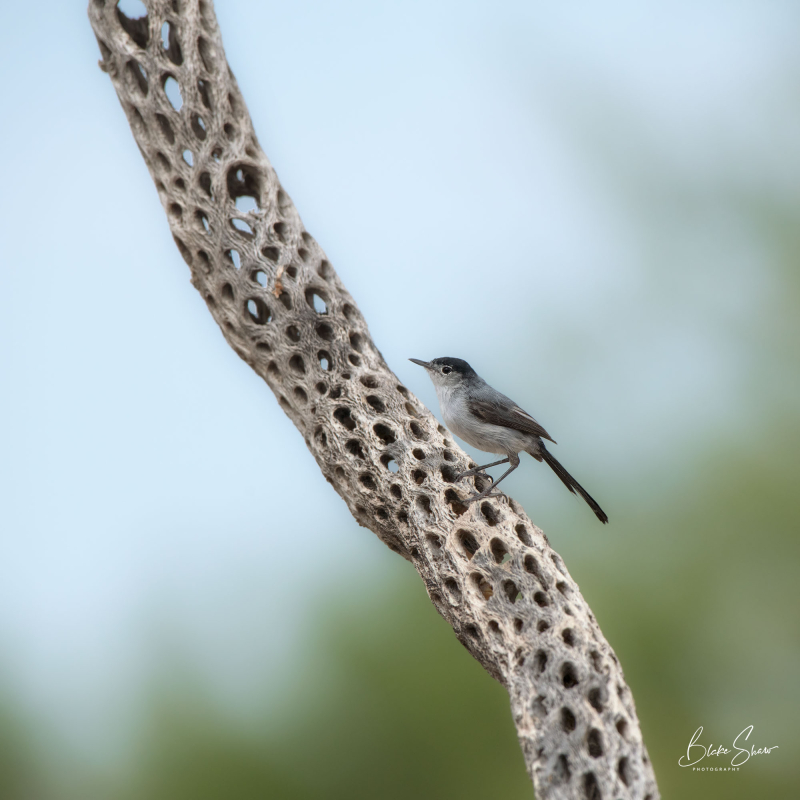 Black-tailed gnatcatcher arizona